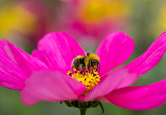 Fluffy! (paulapics2) Tags: bee fluffy cosmos pink nature garden canon5d sigma105mm bokeh colourful shockingpink depthoffield blumen floral vibrant cosmosbipinnatus cosmea