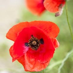 Coq (Gerard Hermand) Tags: red blur paris france flower macro green nature fleur closeup canon rouge background vert poppy fond flou coquelicot formatcarr eos5dmarkii gerardhermand 1606041945