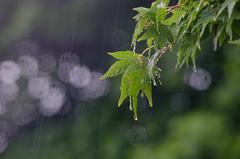 143/366 - Leaves, rain and bokeh (Spannarama) Tags: tree wet leaves rain droplets bokeh may japanesemaple raindrops outofmywindow 366