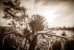 dont touch me! (Florian Grundstein) Tags: nature thistle sunrise sunset thorns light sunbeam lake water landscape details macro tree bokeh unschrfe baum diestel dornen makro nahaufnahme see landschaft monochrome sepia olympus xz2 offenblende bayern oberpfalz