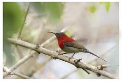 Crimson Sunbird (shivanayak) Tags: crimson sunbird crimsonsunbird aethopygasiparaja aethopyga siparaja crimsonsunbirdaethopygasiparaja