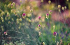 under the summer sun (gwuphd) Tags: summer flower dof bokeh 85mm f15 m39 helios40