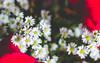 IMG_4146 (Josy'ta) Tags: rose rosas rosascolombianas flowers flores flor diadosnamorados love