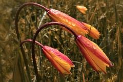 Les larmes du printemps...  The tears of spring... #Darktable #FujiX-S1 (ImAges ImprObables) Tags: fleur montagne eau prairie commune vercors flore tulipe vallon drme gouttedeau traitement rhnealpes vallondecombeau treschenucreyers tulipeaustrale fujixs1 draktable