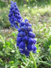 Flowers #494 (tt64jp) Tags:     flower blossom bloom floral flowering plant color colour  japan japanese  spring  fleur blume flor flore   nature   kiryu plants flora colors  muscari  grapehyacinths