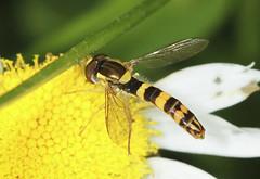 Long Hoverfly - Sphaerophoria scripta (Prank F) Tags: uk macro nature closeup insect fly long wildlife rutland ketton hoverfly wildlifetrust lrwt sphaerophoriascripta kettonquarry