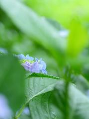 紫陽花 (Junpei♪) Tags: rain nikon hydrangea アジサイ 紫陽花 雨 d7100 権現堂