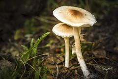 Lepiota cristata (hph46) Tags: mushroom germany deutschland sony fungus pilz norddeutschland niedersachsen lepiotacristata stinkschirmling reinsehlen alpha7r