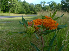 Butterfly Weed (Dendroica cerulea) Tags: road orange plant flower newjersey spring nj meadow rutgersuniversity apocynaceae milkweed asclepias butterflyweed asclepiastuberosa middlesexcounty gentianales rutgersecologicalpreserve asclepiadoideae livingstoncampus asclepiadeae asclepiadinae