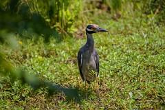 Heron Nearby (brev99) Tags: bird heron photos wildlife ngc marsh dxoopticspro d7100 oxleynaturecenter nikviveza tamron70300vc highqualityanimals