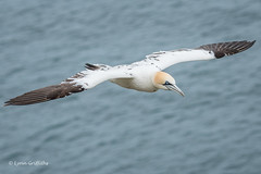 Gannet at RSPB Bempton Cliffs D50_1662.jpg (Mobile Lynn) Tags: wild england bird nature birds fauna unitedkingdom wildlife waterbird gb shag waterbirds gannet pelecaniformes bempton