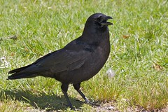 Panting In the Heat (Stirrett6) Tags: bird crow corvid perching