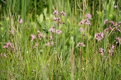Usedom, Halbinsel Gnitz: Wiesenblumen am Mwenort - Meadow flowers at Mwenort, a strip of land protruding from the Peninsula of Gnitz into the Achterwasser Lagoon (riesebusch) Tags: usedom halbinselgnitz