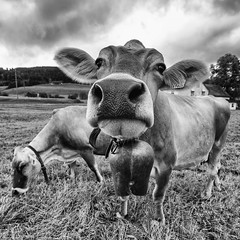 More Cowbell! (rianklong) Tags: blackandwhite bw grass animal nose switzerland cow bell farm pasture livestock cowbell appenzell sz gais canonef1635mmf28liiusm canoneos5dmarkii canon5dmarkii