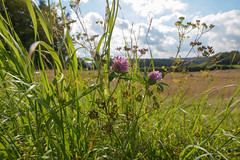 Klee (fakepixilord) Tags: sun flower macro sunny wideangle lila gras blume makro blte sonnig sonne klee weitwinkel 14mm
