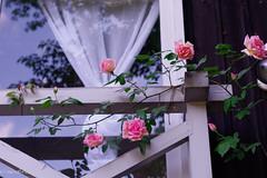 Sounenir de Mme. Leonie Viennot (Y*o*K*o*) Tags: old flower window rose garden de tea cl leonie mme viennot sounenir