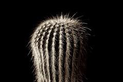Cactus (JaniceNZ) Tags: sepia bristles texture spikes sharp