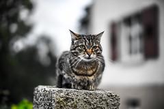 Katze (wildbam25) Tags: katze dof animal sony ilce7m2 zhongyi mitakon 50mm speedmaster f095 bokeh