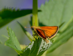 European Skipper (Summerside90) Tags: insects europeanskipper june summer backyard garden nature wildlife ontario canada