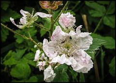 IMG_2652-1 - Blackberry Blossom 1 (dangle earrings) Tags: bug blackberryblossom yorkshirewildlifetrust dangleearings canonpowershotg12 staveleyreserve