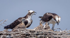 The Osprey Family. (tresed47) Tags: 2016 201606jun 20160620njforsythebirds birds canon7d content ebforsythenwr folder newjersey osprey peterscamera petersphotos places takenby us