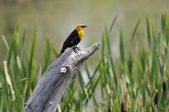 Yellow-headed blackbird (Expially) Tags: alberta marsh coaldale yellowheadedblackbird