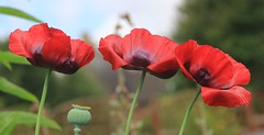 Poppies, Looking Back 100 Years. (Seckington Images) Tags: flickr poppies