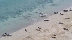 Seals, West coast of Mainland, Shetland (Nanooki ) Tags: scottishisles scousburgh scotland unitedkingdom gb seals shetland mainland beach