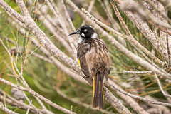 New Holland Honeyeater D75_2112.jpg (Mobile Lynn - Limited internet) Tags: wild nature birds au manly ngc australia honeyeater newsouthwales newhollandhoneyeater coth5 sunrays5