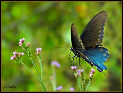 Swallowtail Butterfly (Suzanham) Tags: mississippi wings flower flight nature wildlife swallowtailbutterfly swallowtail butterfly wildflowers