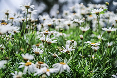 Selective Focus (mrlosgutierrez) Tags: flowers flower green art nature floral colors daisies contrast canon photography eos focus asia flickr random philippines perspective creative relaxing whites refreshing pilipinas creations cpg eosm canonph choosephilippines eosm3 cpg2016 cpgcreatives