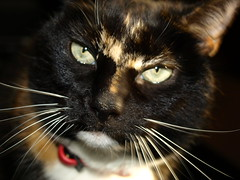 Picture of a cat - 4 (Tony Worrall Foto) Tags: pet brown cute nature smile face animal cat fur fun nice eyes furry kiss chat little head pat pussy whiskers beast katze sunlit puss gatto playful catz nicecat catseyes moggy catty catpicture lovelypussy 2013tonyworrall
