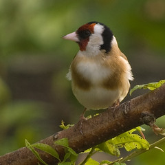 Goldfinch 13 (Bassman99) Tags: blackisle gardenbirds scottishwildlife