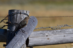Untitled (Denzil Burriss) Tags: bird nature canon fence photography wildlife wyoming dslr grandteton