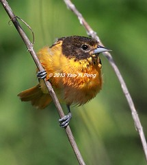 Baltimore-oriole-spring-adult-female_1000 (Warbler_King) Tags: orioles baltimoreoriole chicagobirds baltimoreoriolespringadultfemale