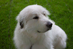 . (POOLEworks | roger) Tags: dog greatpyrenees chlo