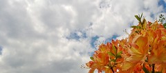 orange bouquet (freedom333) Tags: flowers orange clouds azalea cmwdorange