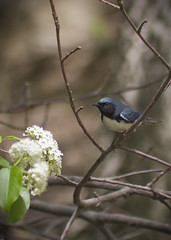 Black-Throated Blue Warbler (daniel geoghegan) Tags: newyork birds centralpark theramble blackthroatedbluewarbler canonrebelt3i
