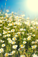 Daisy (Maki_nightm4r3) Tags: blue summer sky cloud sun sunlight white plant flower green nature floral beautiful field grass sunshine yellow rural garden season landscape spring day view natural bright blossom outdoor farm horizon country lawn grow scenic meadow sunny nobody scene fresh pasture land daisy plain idyllic herb chamomile camomile