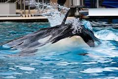 Before breaking the surface (LisaBSkelton) Tags: california canon mammal sandiego wildlife whale orca corky seaworld shamu killerwhale lisaskelton