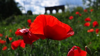 roman poppies