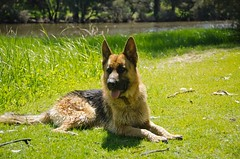 429359_Taj Oct 2012 (kezzamcc) Tags: germanshepherd alsatian gsd