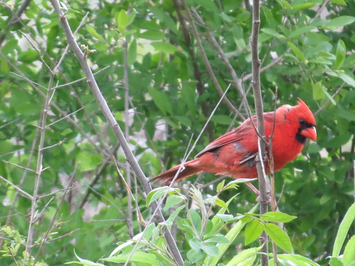 Northern Cardinal by SpeedyJR