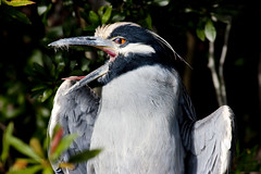 mg1833-yellow crowned night heron (jrivard07) Tags: park wild usa green bird eye heron nature water leaves animal tongue fauna wings florida head wildlife beak feather foliage preserve largo wading yellowcrownednight