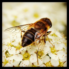 Honey bee (allertadele) Tags: nature insect bees insects