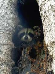 Baby Raccoon in NJ, USA (Cwyntella) Tags: usa baby tree newjersey wildlife nj raccoon