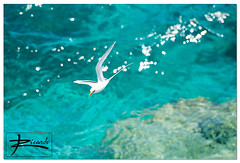 Longtail Bokeh (::| R(c) Photography |::) Tags: ocean blue white bird star triangle aqua trail ricardo tropic bermuda longtail tailed cardoso