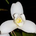 Lycaste Sweet Dreams 'Seaside White' – Craig Johnson