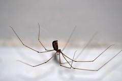 Daddy Long Legs Spider (Little_JamesC85) Tags: macro closeup bug insect daddy spider scary nikon long legs spiders bugs creepy cobweb eightlegs zoomed dadylonglegs daddylonglegsspider d3100