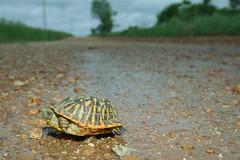 Ornate Box Turtle (kaptainkory) Tags: road usa male ar box turtle reptile unitedstatesofamerica wideangle dirt ornate gravel herp chelonia reptilia herptile testudines turtleterrapeneornata